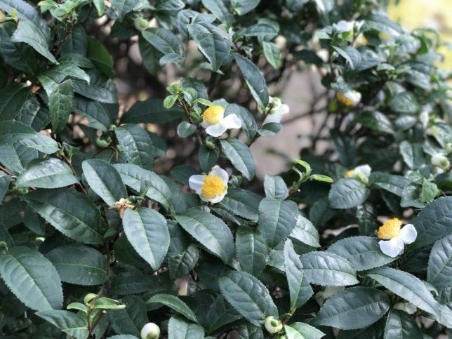 お茶の花とつぼみ