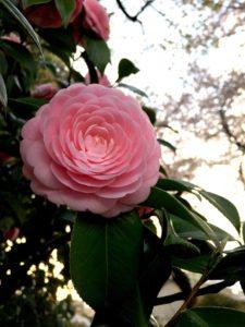 ピンク色の乙女椿