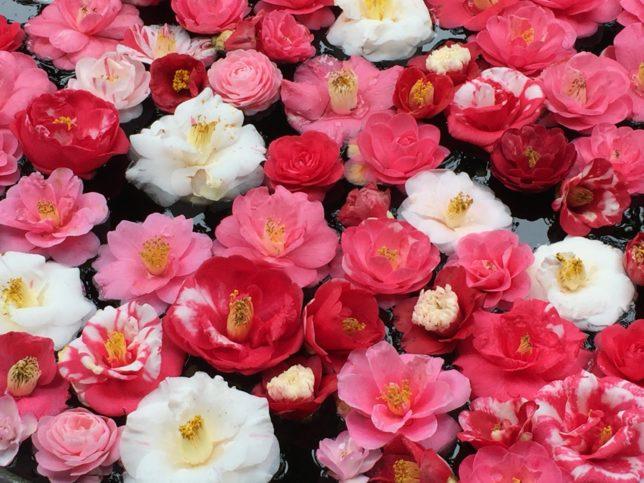 色とりどりな椿の花