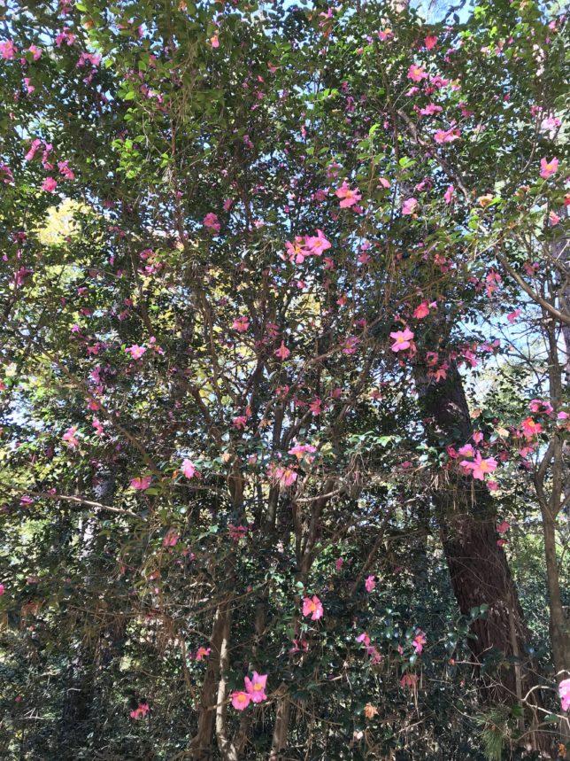 武蔵丘陵森林公園椿園