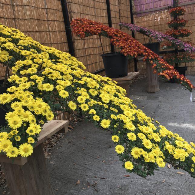 神代植物園菊 20171104