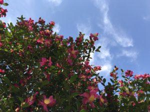 三国紅 神代植物園20171104_2