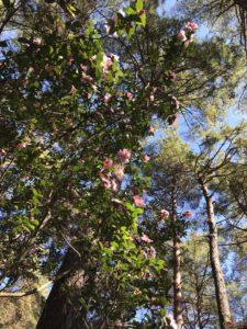 武蔵丘陵森林公園ツバキ園
