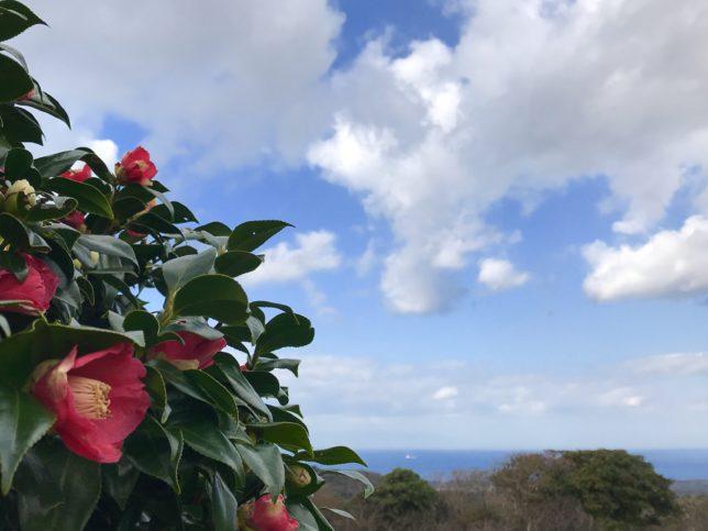 伊豆大島のヤブツバキ