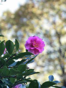 武蔵丘陵森林公園の紅葉とサザンカ