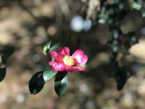 根岸紅(サザンカ)武蔵丘陵森林公園