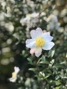 花の雪 神代植物園20171104