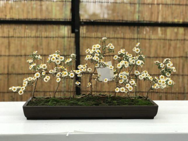 菊盆栽 神代植物園20171104