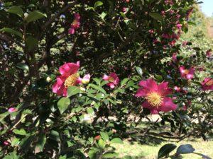 三国紅 神代植物園20171104