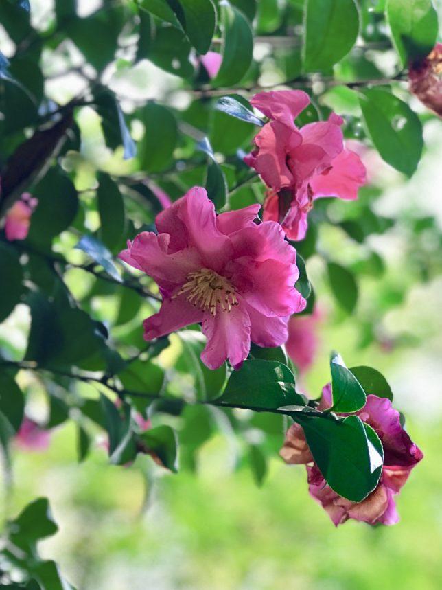 サザンカ横浜こどもの国椿の森