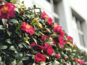 サザンカ生垣 江戸川区立小松川第3中学校
