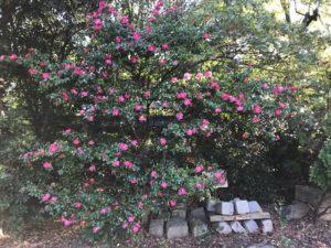 根津神社のサザンカ