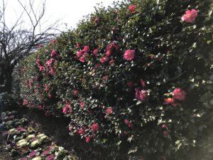 亀戸中央公園サザンカ