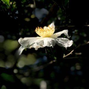 横浜こどもの国椿の森のサザンカ