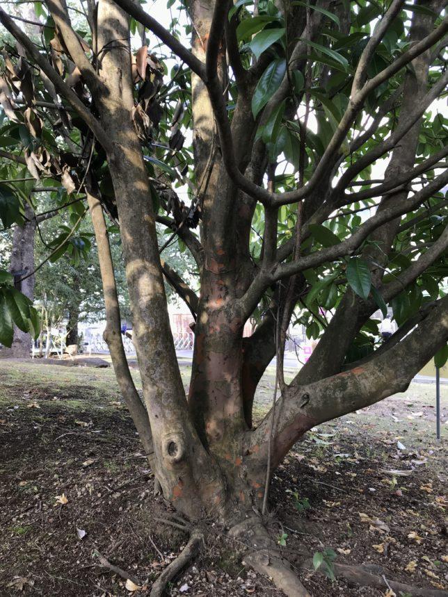 タイワンツバキ(四川省産)の幹 筑波実験植物園
