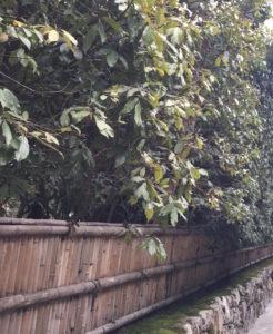銀閣寺椿の生垣(東側)