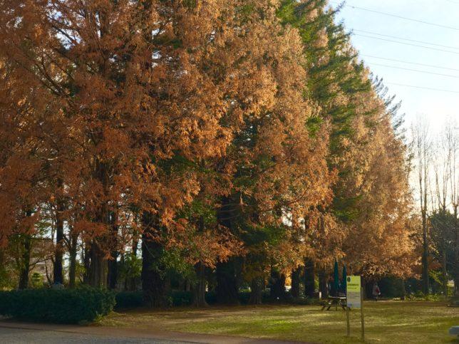 メタセコイアとセコイアの並木筑波実験植物園