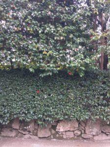 銀閣寺椿の生垣(西側)