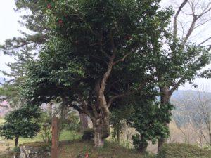 舞鶴自然園の400年椿
