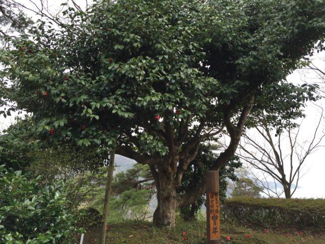 舞鶴自然文化園の400年椿