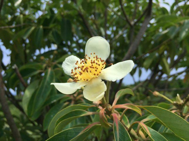 ムニンヒメツバキ 椿花ガーデン