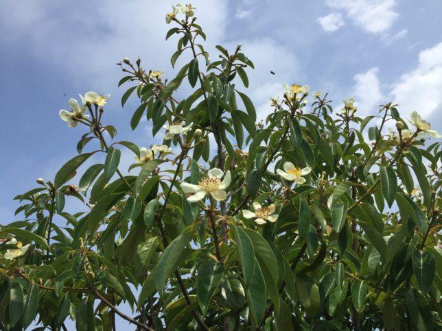 ムニンヒメツバキ 椿花ガーデン20170725_