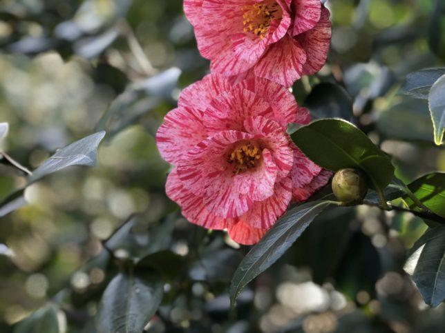 唐錦Karanishiki 神代植物公園20180306_1