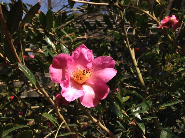 C.Saluensis サルウィンツバキ 大島公園20150323
