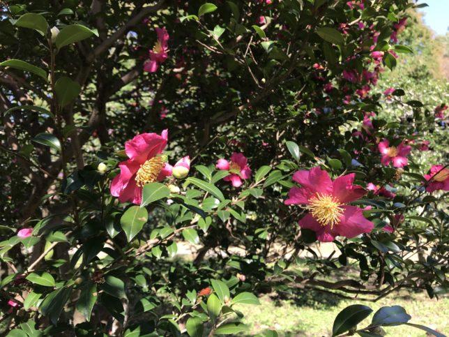 三国紅Mikuni-ko 神代植物園20171104