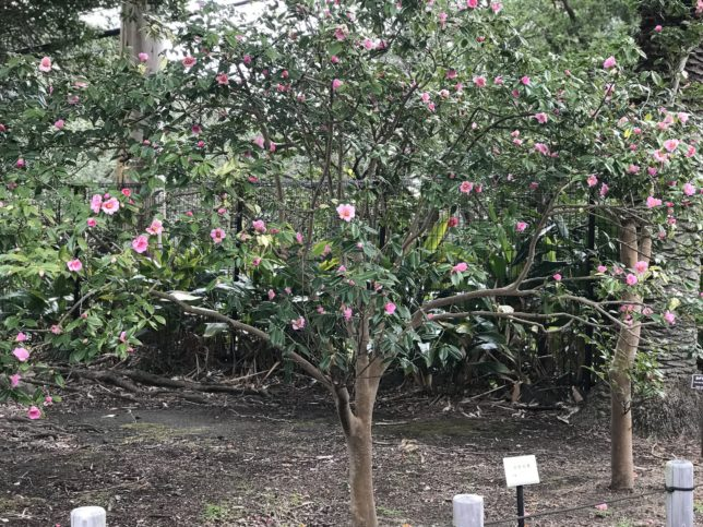 太郎冠者Tarokajya 大島公園椿園20180130