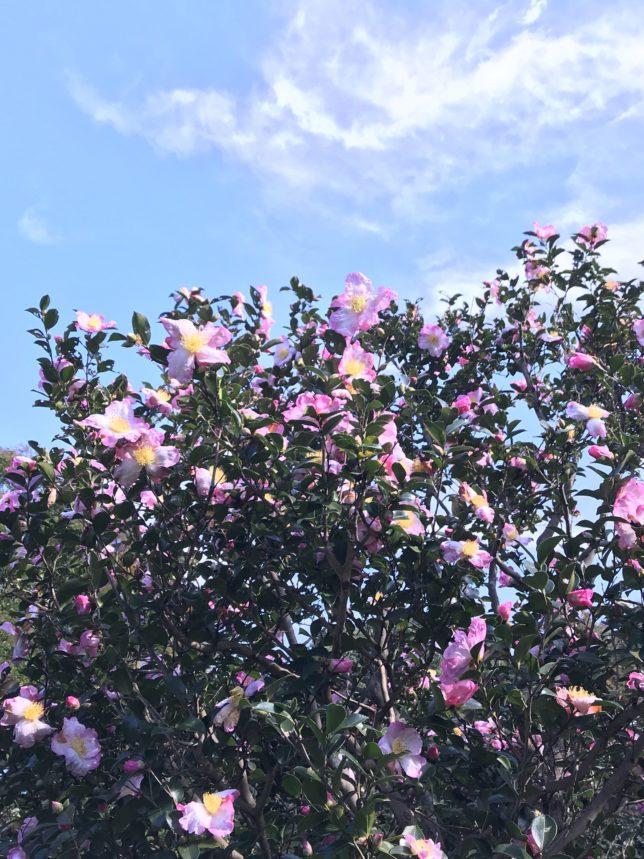 サザンカ 神代植物園20171104