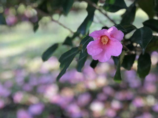 太郎冠者Tarokajya 神代植物公園20180306_20