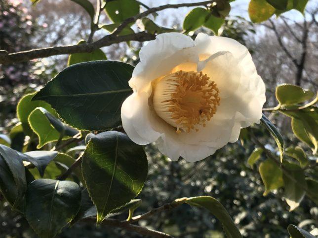 加茂本阿弥Kamo-hpn-nami 神代植物公園20180306
