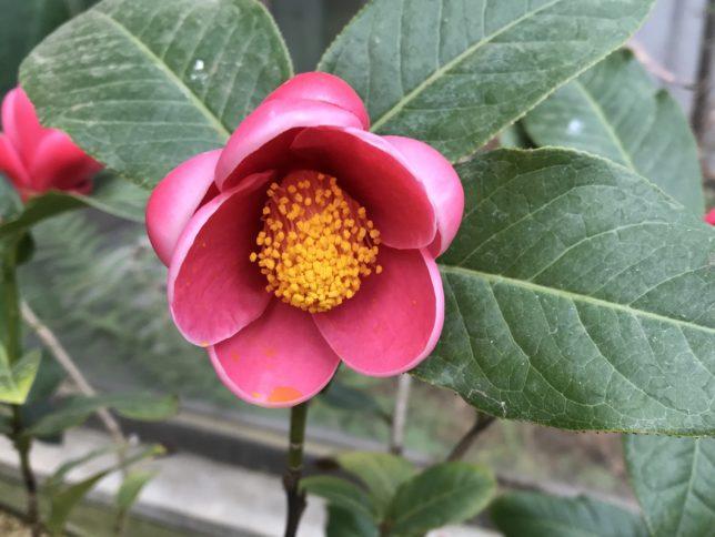 ハイドゥンCamellia amplexicaulis 服部緑地公園温室20190201