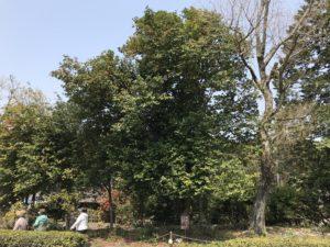 樹齢300年藪椿 秩父宮記念公園20190407_