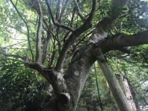 立伏(りゅうぶく)のツバキ20190719_5