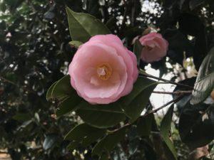 春曙紅syunsyokkko 小室山つばき園20190217_1