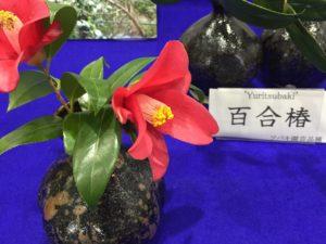 百合椿 京都府立植物園椿展20170325_15