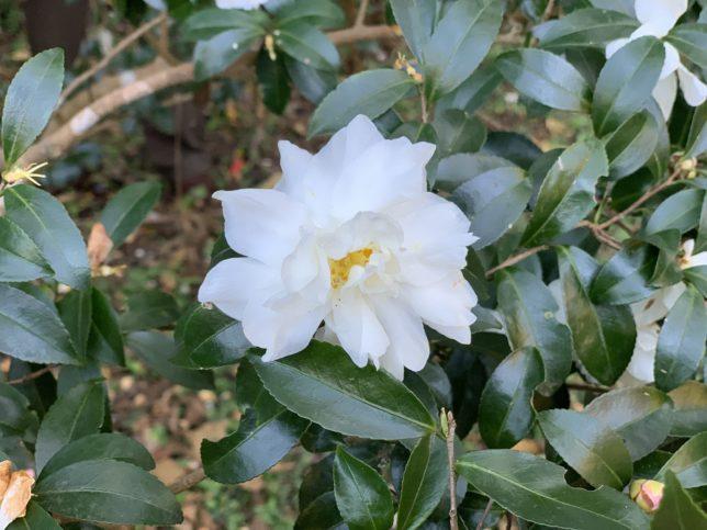稚児桜 はままつフラワーパーク20191116