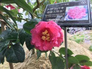 楚雄大理茶 トウツバキ 富山県立植物園雲南温室20190310