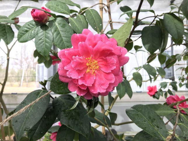 楚雄茶chu xiong cha トウツバキ 富山県立植物園雲南温室20190310
