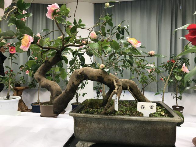 春雷 高岡つばき展20190309