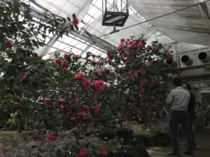 トウツバキ 富山県立植物園雲南温室20190310