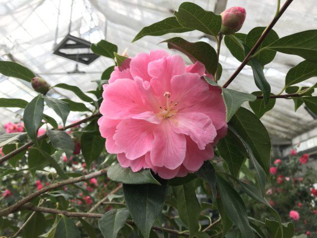麻葉銀紅ma-ye-yin-hong トウツバキ 富山県立植物園雲南温室20190310
