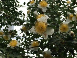 五柱てん(サンズイに真)山茶C.yunnanensisいのくち椿館20190310