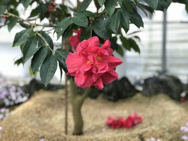 大瑪瑙da-ma-nao トウツバキ 富山県立植物園雲南温室20190310