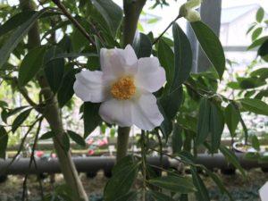 ヤマトウC.reticulataツバキいのくち椿館20190310