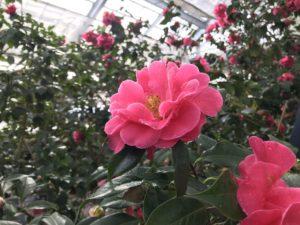 トウツバキ 富山県立植物園雲南温室20190310_2