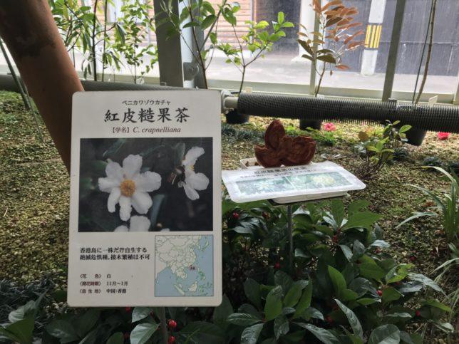 紅皮ゾウ(米篇に造)いのくち椿館20190310