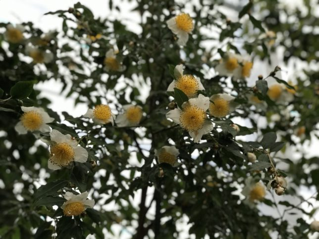 五柱てん(サンズイに真)山茶C.yunnanensisいのくち椿館20190310_